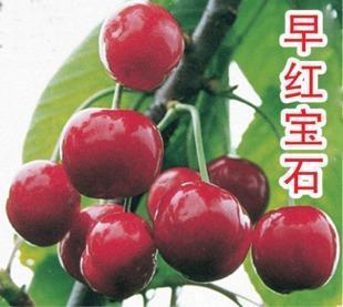"""大樱桃""""早红宝石""""品种介绍"""
