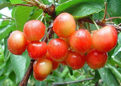 大樱桃 佳红樱桃品种介绍