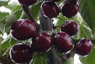 黑珍珠 烟台优质樱桃品种介绍