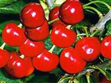 特别的樱桃品种:早生凡