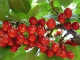 早熟的樱桃品种 福蜜