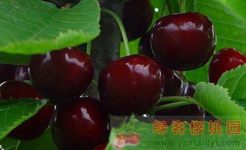 美早樱桃品种介绍