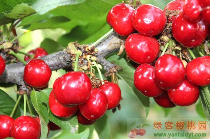 烟台福星樱桃品种介绍