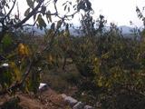 樱桃树冬季修剪的管理方法