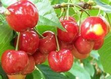大樱桃高效益万国园樱桃树苗新品种开发引广泛关注