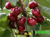 龙冠又名黄金冠 烟台甜樱桃新品种