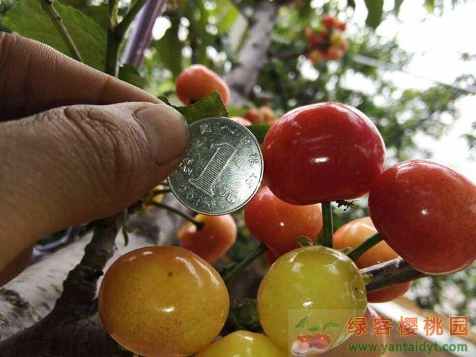 绿客家的大棚樱桃