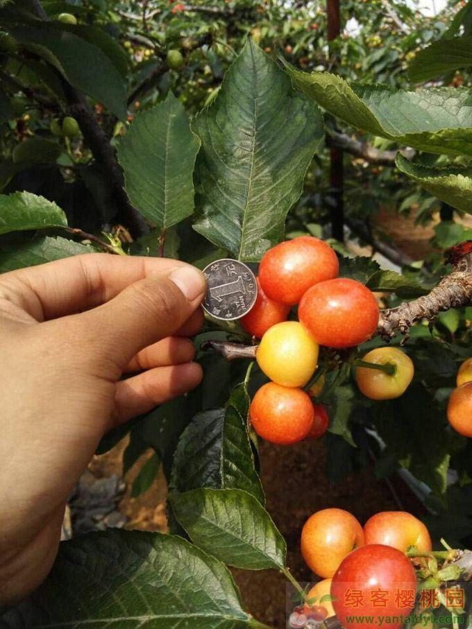 比1元硬币还大的烟台大樱桃