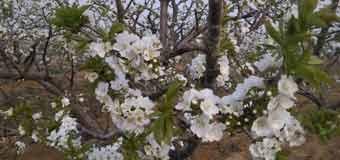 16年烟台露天樱桃花盛开的美景