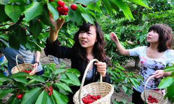 绿客樱桃采摘园做烟台最好的樱桃采摘园