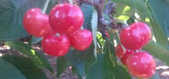 烟台绿客家的大樱桃开始熟了