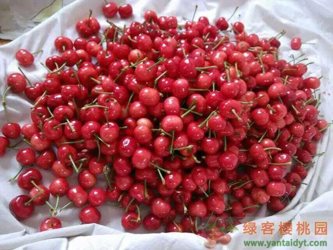 今年第一批樱桃,口感不错,上午刚摘下来就被朋友们分了,明天开始陆续发货了.