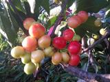 绿客提醒秋季施好肥樱桃来年获高产