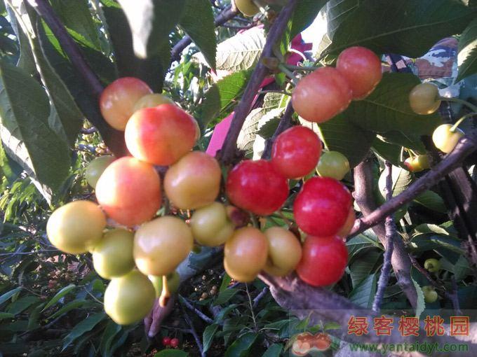 樱桃如何施肥