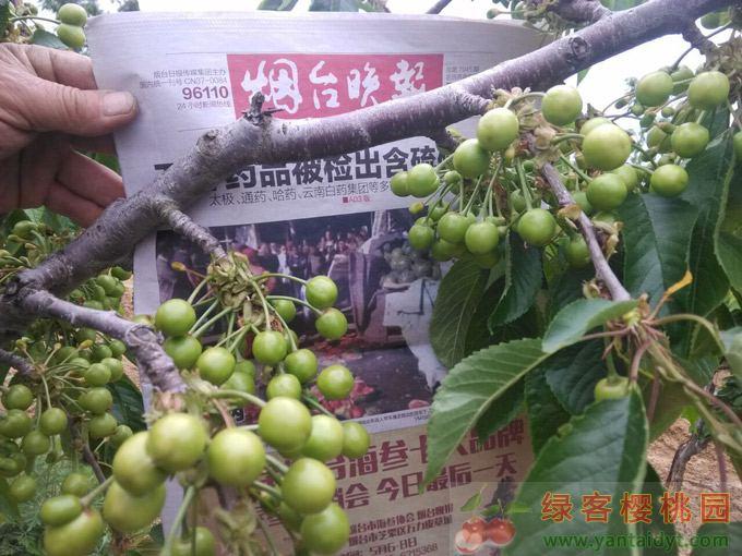樱桃秋季施肥方法