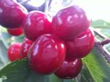 车厘子和樱桃的营养价值