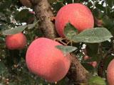 中国最好吃的苹果在这里