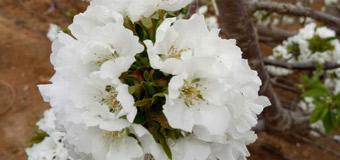三生三世十里大棚樱桃花