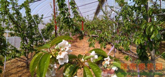 烟台大棚樱桃4月初成熟