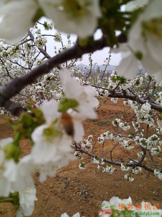 樱桃花什么时候开,烟台4月中旬开