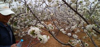 樱桃花开香满山  最美人间四月天?