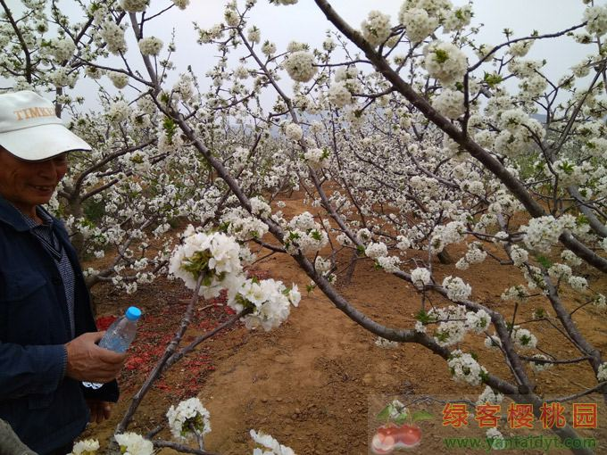 樱桃花开了,农民也笑了