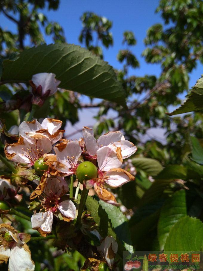樱桃开始着果期
