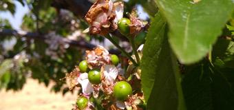 烟台大樱桃花开始陆续谢掉 樱桃已经有豆粒大小了