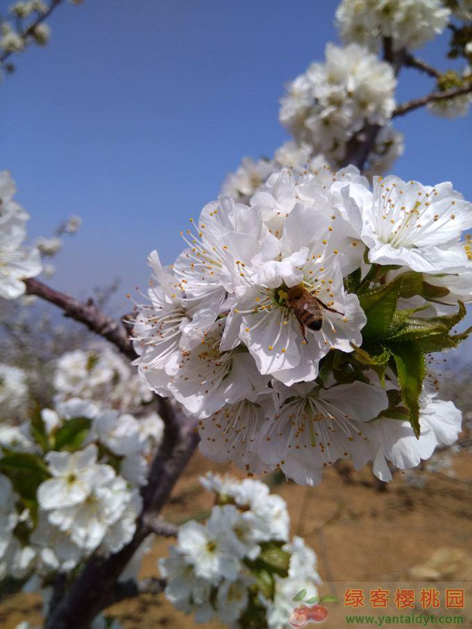 樱桃花蜂蜜采摘