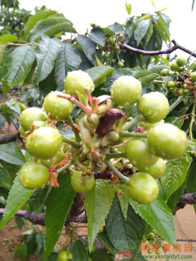 春雨过后的大樱桃