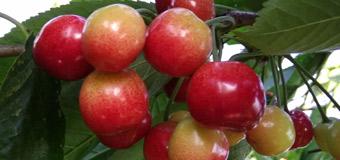烟台绿客家的樱桃园里的大樱桃马上就要熟了