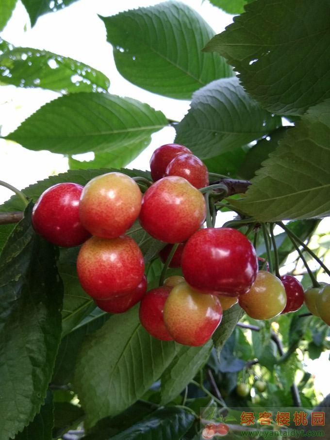 大樱桃品种,早大果