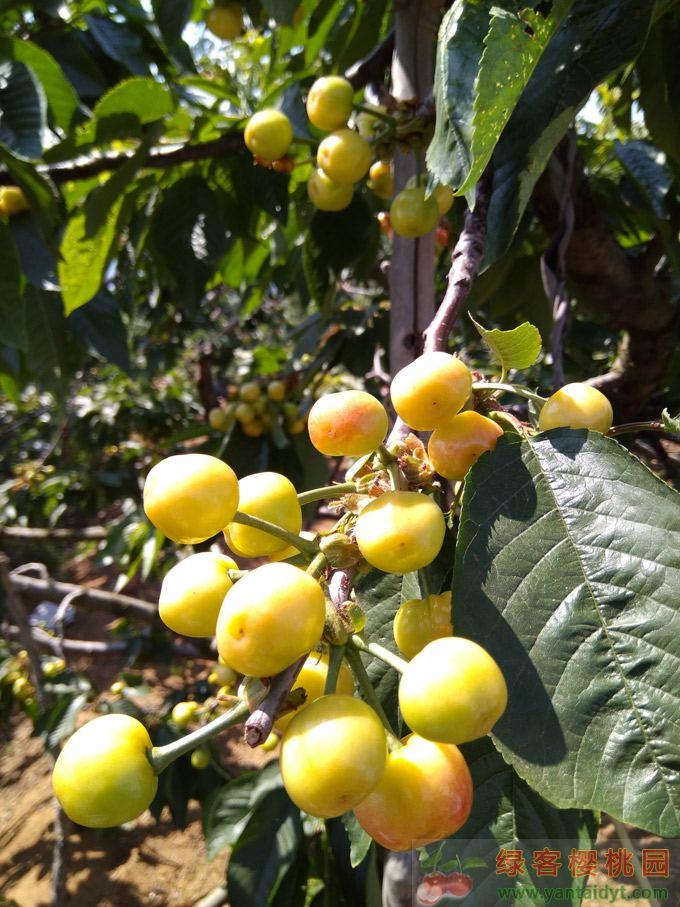 大樱桃品种,大红灯