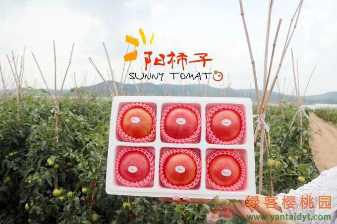 阳柿子西红柿之乡