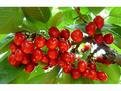 传统大樱桃主要有哪些老品种