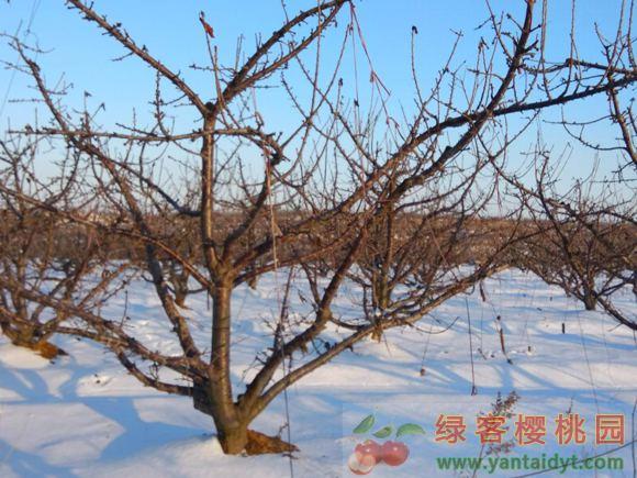 雪地中的樱桃园