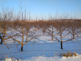 雪地中的烟台樱桃园 风景还是挺美的