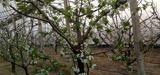 烟台大棚樱桃花已经花了 40天后又可以吃大樱桃了