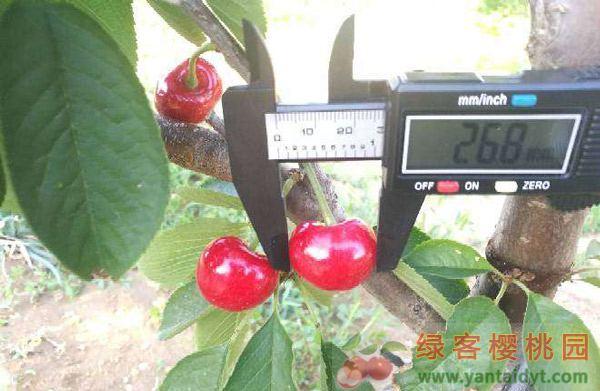 极早熟大樱桃新品种