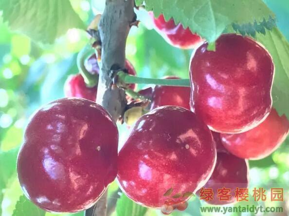 大樱桃优良品种 福神