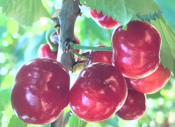 大樱桃优良品种福神2号_福神2号樱桃苗