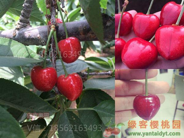 晚熟樱桃品种 萨蜜豆