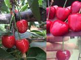 大樱桃新品种_砂蜜豆/萨蜜豆樱桃苗