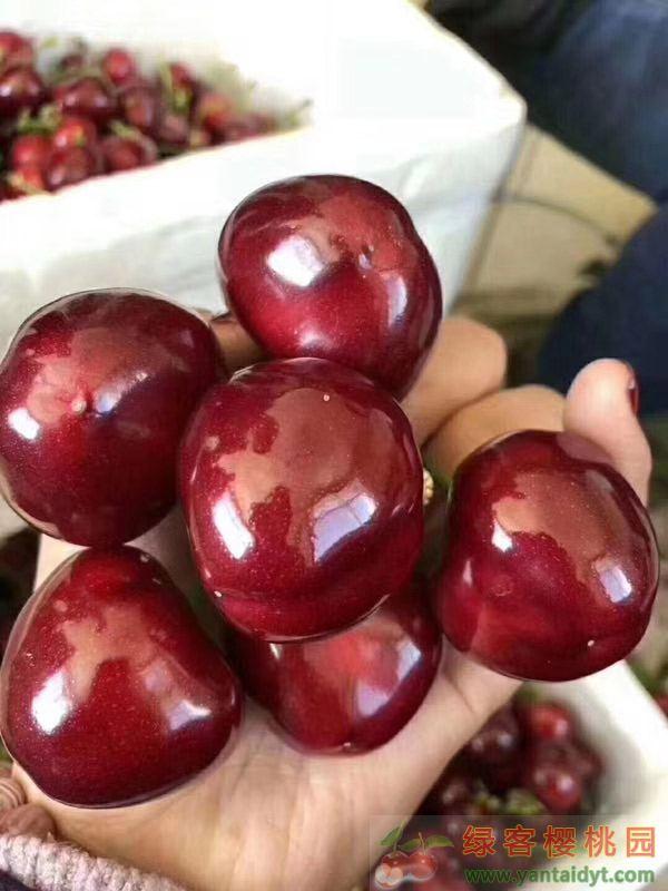 烟台大樱桃最好吃