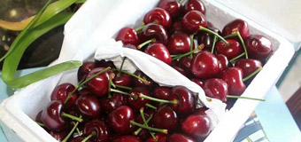 哪里的大樱桃好吃就选烟台绿客家的大樱桃