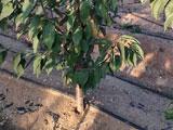 大樱桃苗根茎3-6公分粗的美早福晨俄罗斯8号樱桃苗