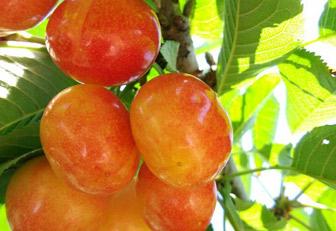 大樱桃早熟品种:冰糖樱樱桃苗批发