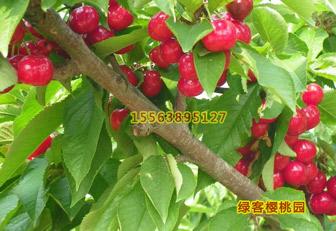 樱桃苗早熟品种:桑提娜樱桃苗