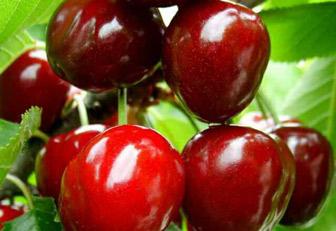 大樱桃苗晚熟品种:福星樱桃树苗批发