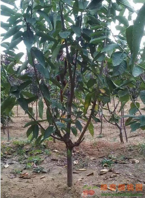 四年生福星5公分挂果树苗